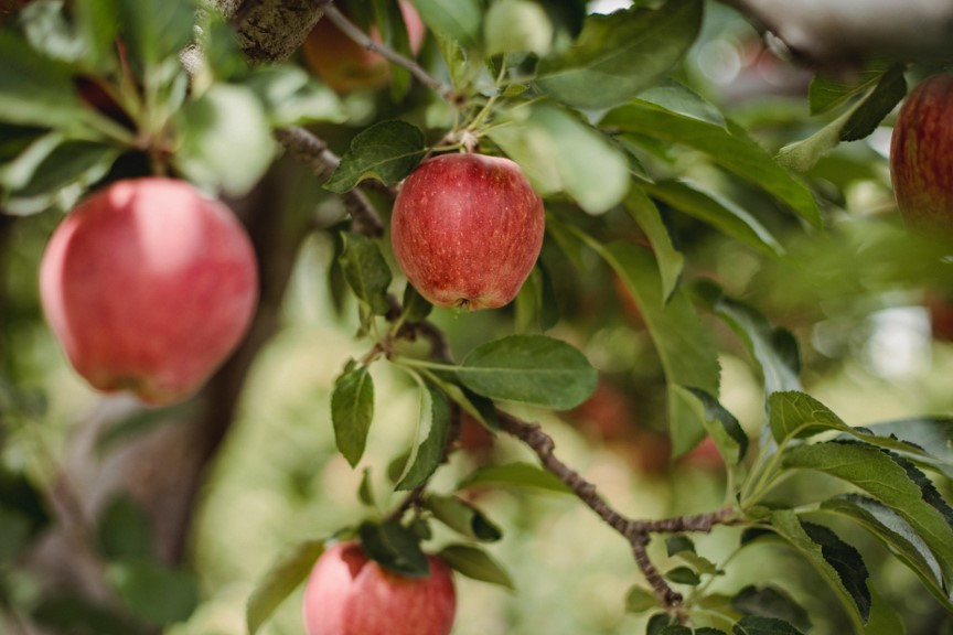 red apple hanging off tree, one of worlds most wasted foods